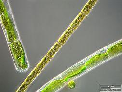 Image of <i>Melosira varians</i>