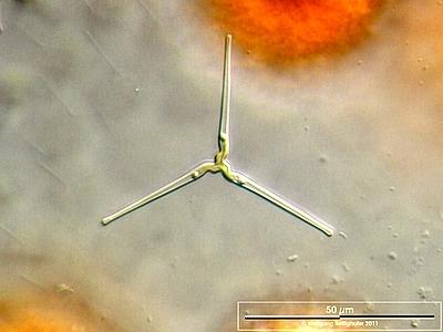 Image of <i>Centronella reicheltii</i>
