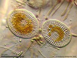 Image of <i>Cocconeis scutellum</i>