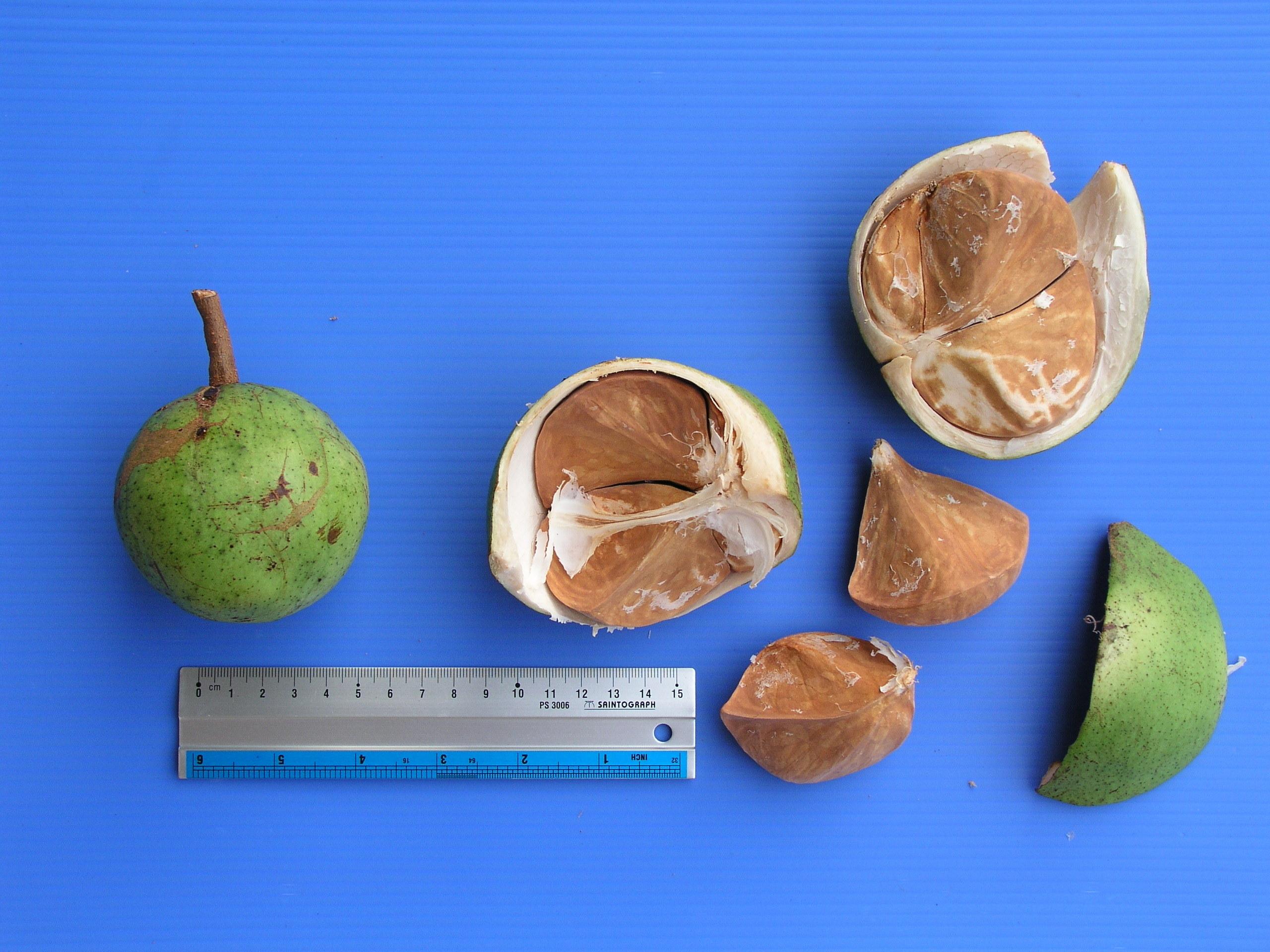 Image of <i>Xylocarpus moluccensis</i> (Lam.) M. Roemer