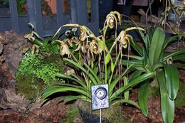 Image of <i>Phragmipedium humboldtii</i>
