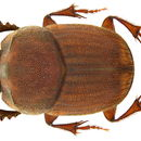 Image of <i>Milichus serratus</i> D' Orbigny 1907