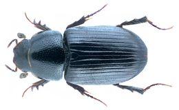 Image of <i>Mecynodes striatulus</i> (Waltl 1835)