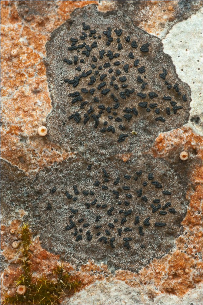 Image of scribble lichen