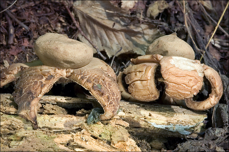 Image of Collared Earthstar