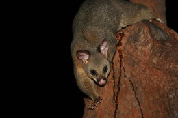 Image of Wha-Tapoua Roo