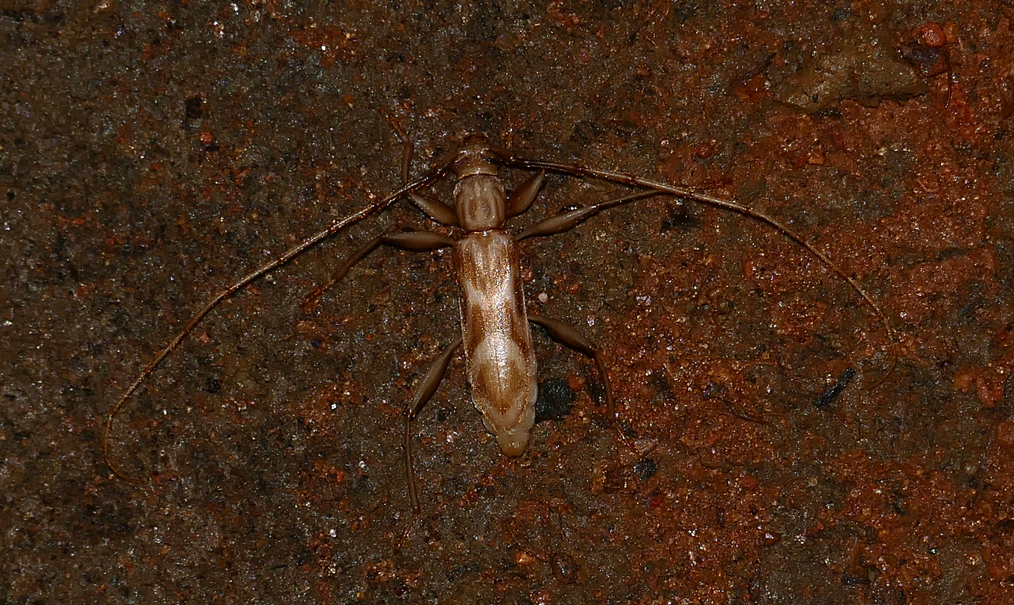 Image of <i>Ochrus grammoderus</i> Lacordaire 1869