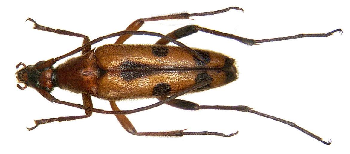 Image of <i>Stenurella</i> (<i>Priscostenurella</i>) <i>septempunctata</i> (Fabricius 1793)