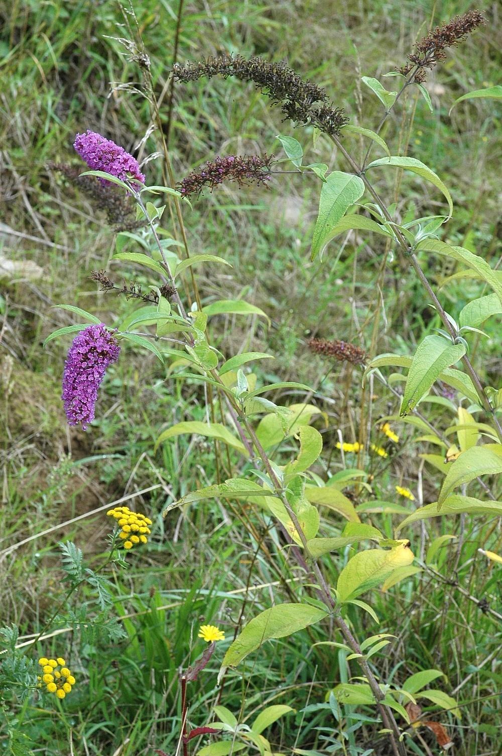 Image of Butterfly bush