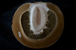 Image of Stinkhorn