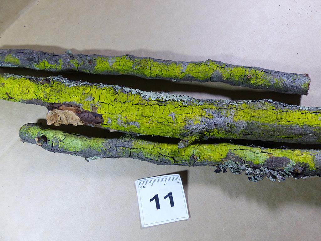 Image of <i>Chrysothrix xanthina</i> (Vain.) Kalb