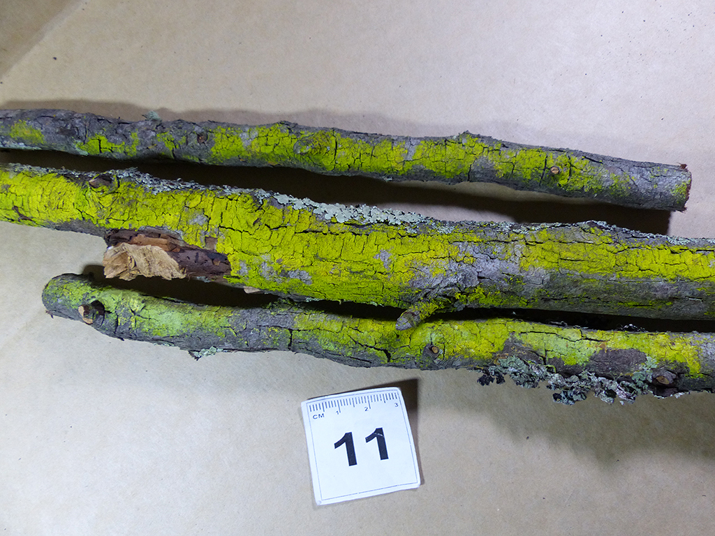 Image de <i>Chrysothrix xanthina</i> (Vain.) Kalb