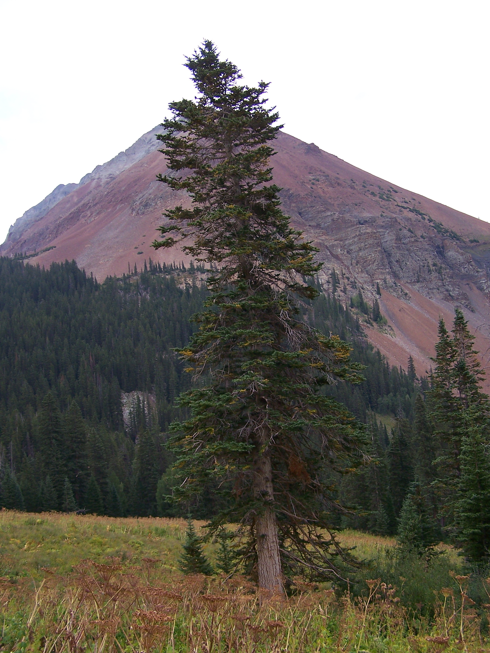 Image of subalpine fir