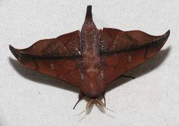 Image of <i>Cicinnus hamata</i> Walker 1855