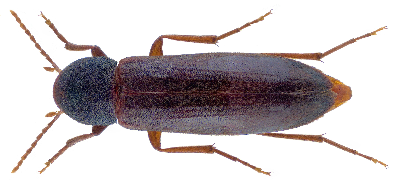 Image of <i>Phloiotrya vaudoueri</i>