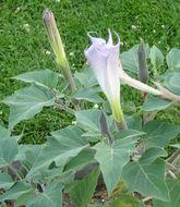 Image of sacred thorn-apple