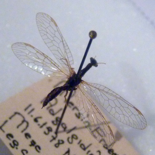 Image of <i>Dichrostigma adananum</i> (Albarda 1891)