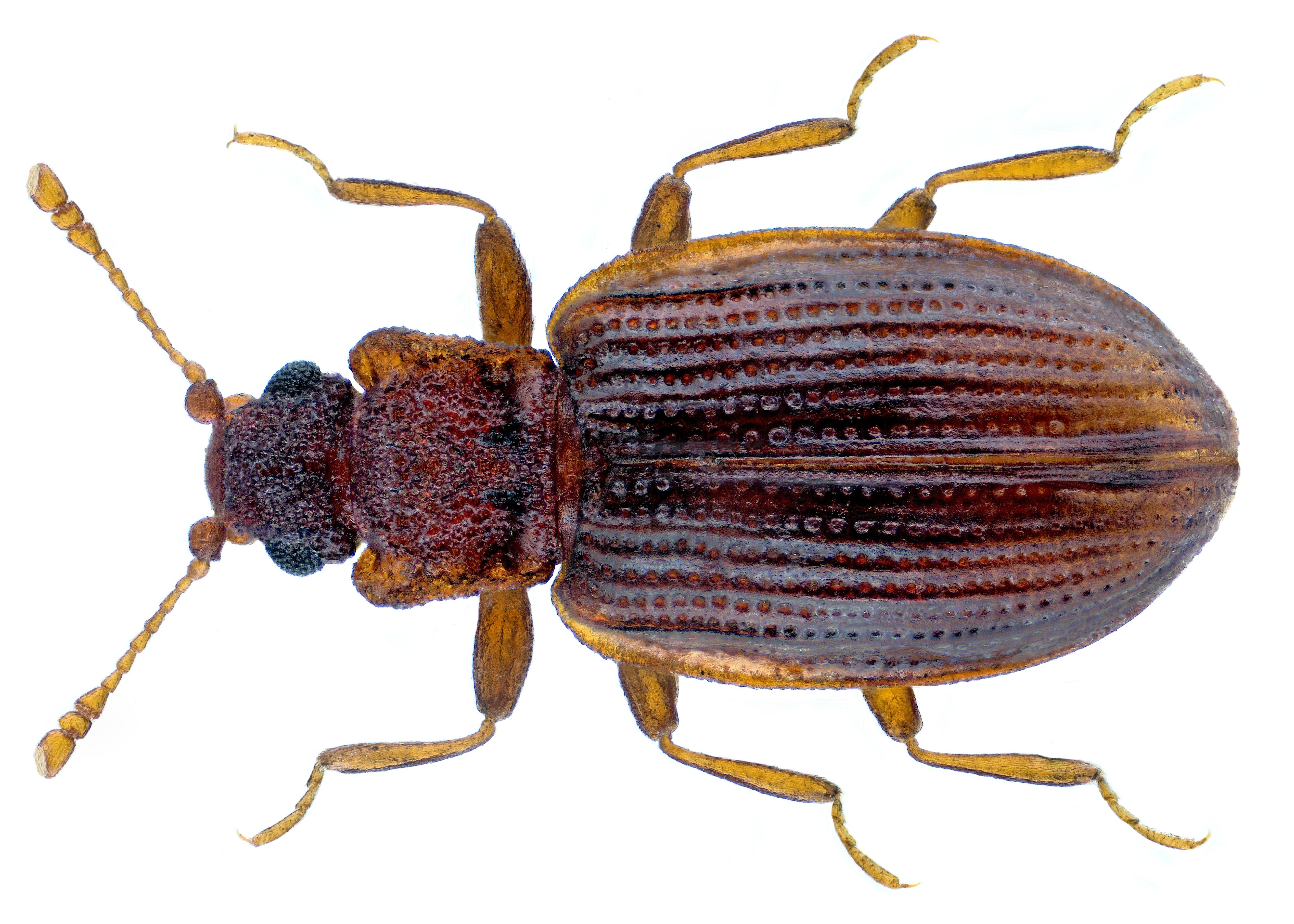 Image of <i>Latridius porcatus</i> Herbst 1793