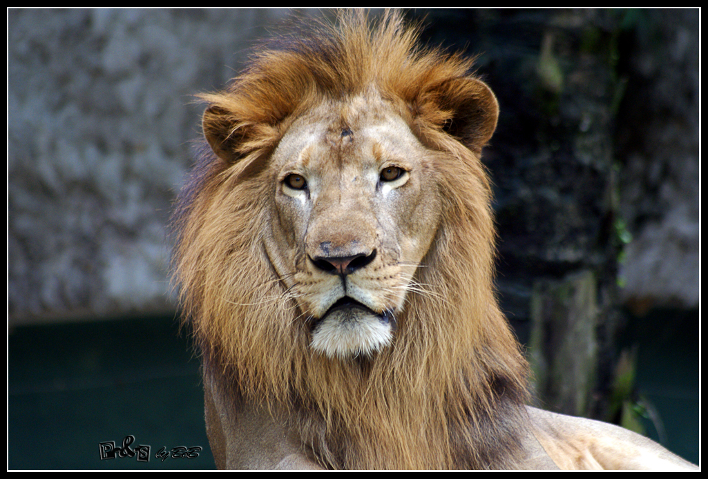 Image of Barbary lion