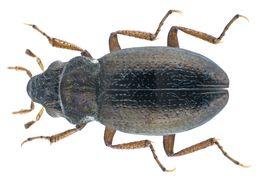 Image of <i><i>Ochthebius</i></i> (Ochthebius) <i>difficilis</i> Mulsant 1844