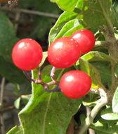 Image of <i>Solanum dulcamara</i> L.