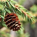 Image of <i>Picea glauca</i> var. <i>densata</i>