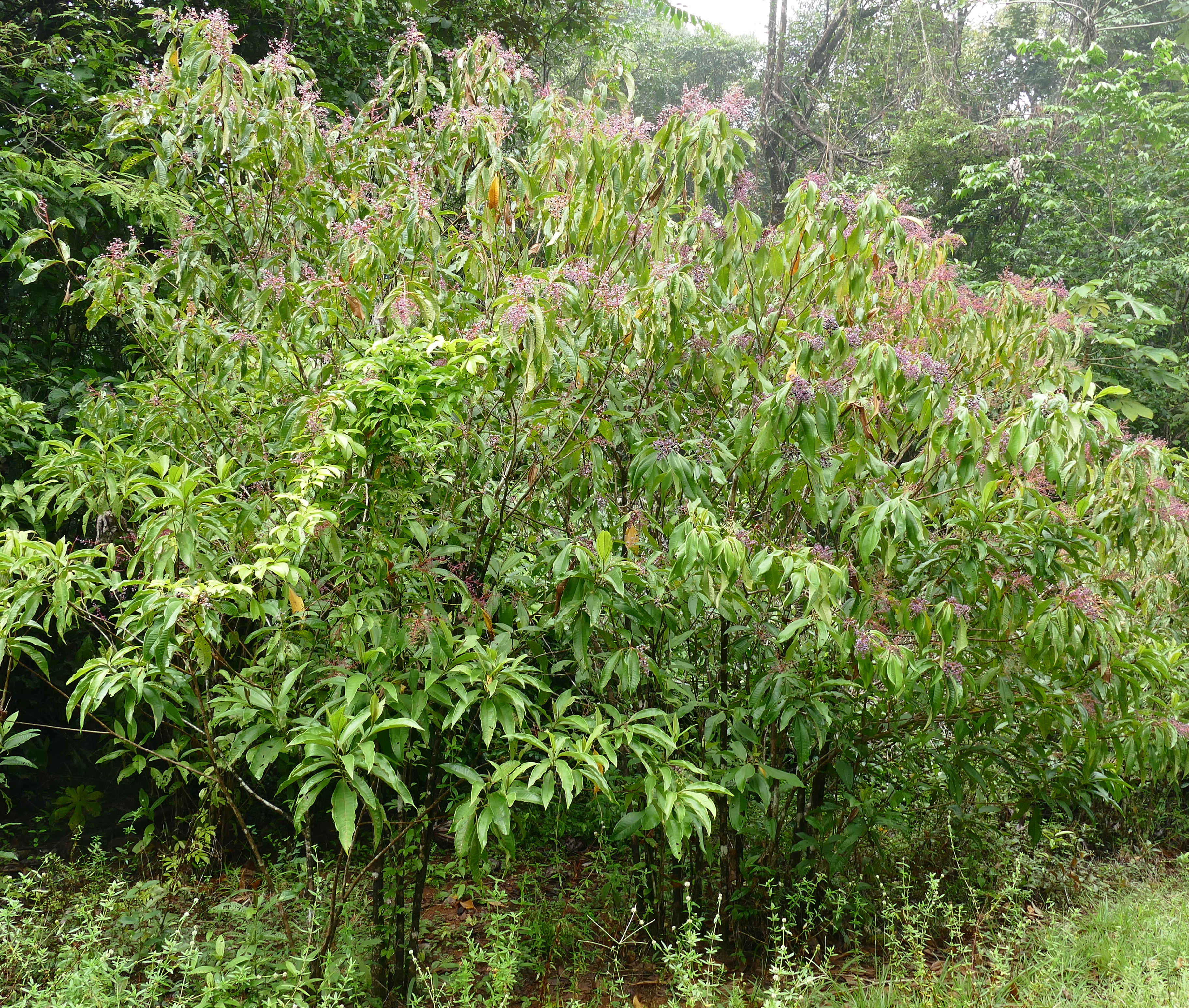Image of <i>Tococa guianensis</i> Aubl.