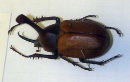 Image of <i>Golofa claviger</i> (Linnaeus 1771)