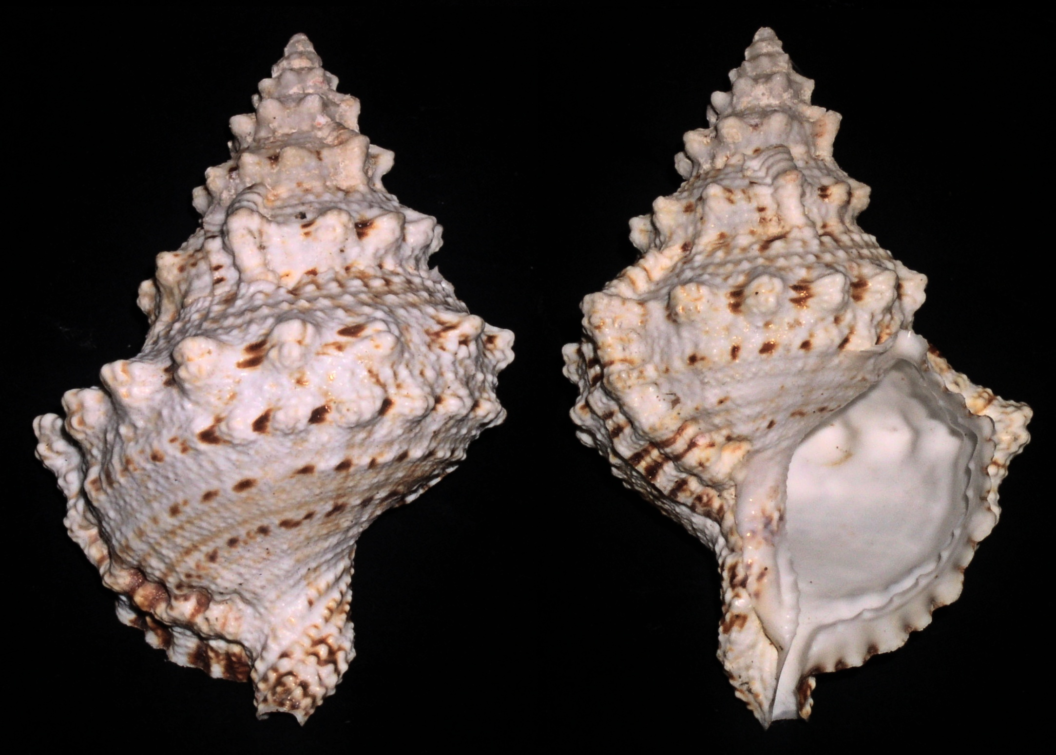 Image of giant frogsnail