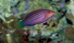 Image of Pseudocheilinus