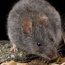 Image of Smoky Mouse