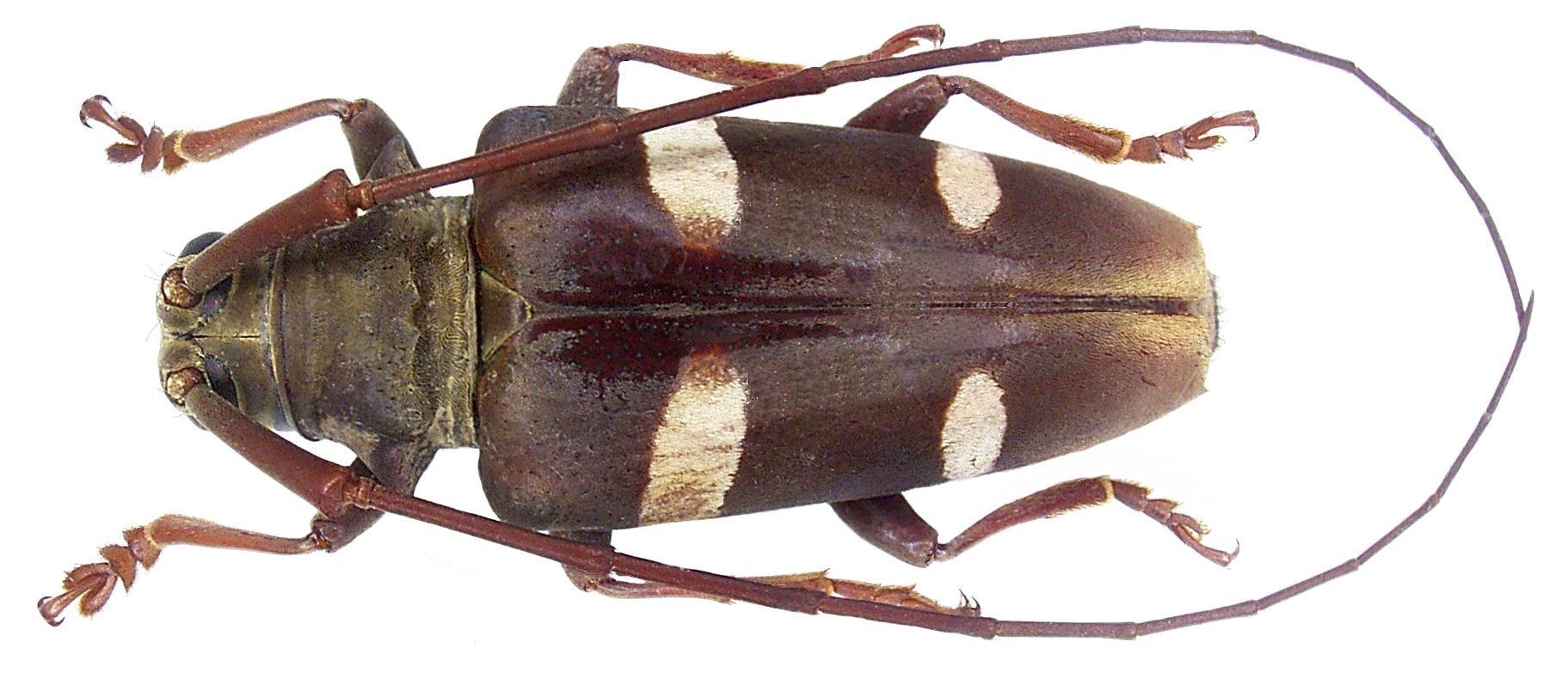 Image of <i>Cereopsius sexmaculatus</i> Aurivillius 1907