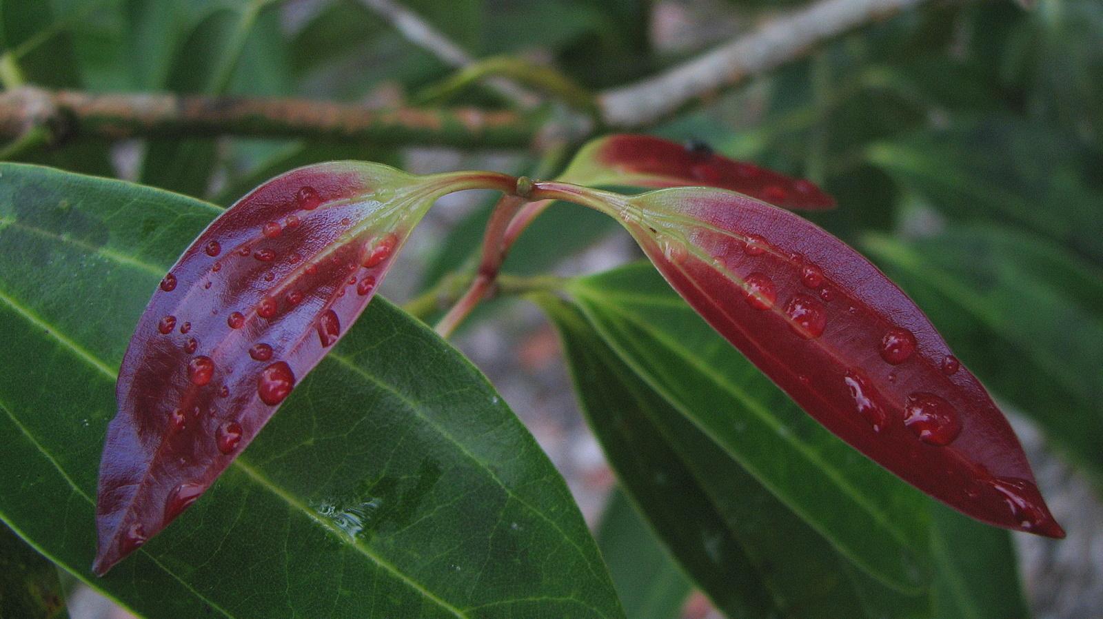 Image of <i>Cinnamomum iners</i> Reinw. ex Bl.