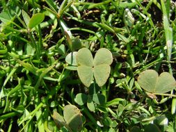 Image of Chihuahuan waterclover