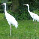 Image of Asiatic white crane