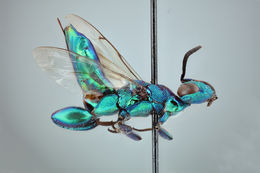 Image of <i>Chalcedectus maculicornis</i> Walker 1852