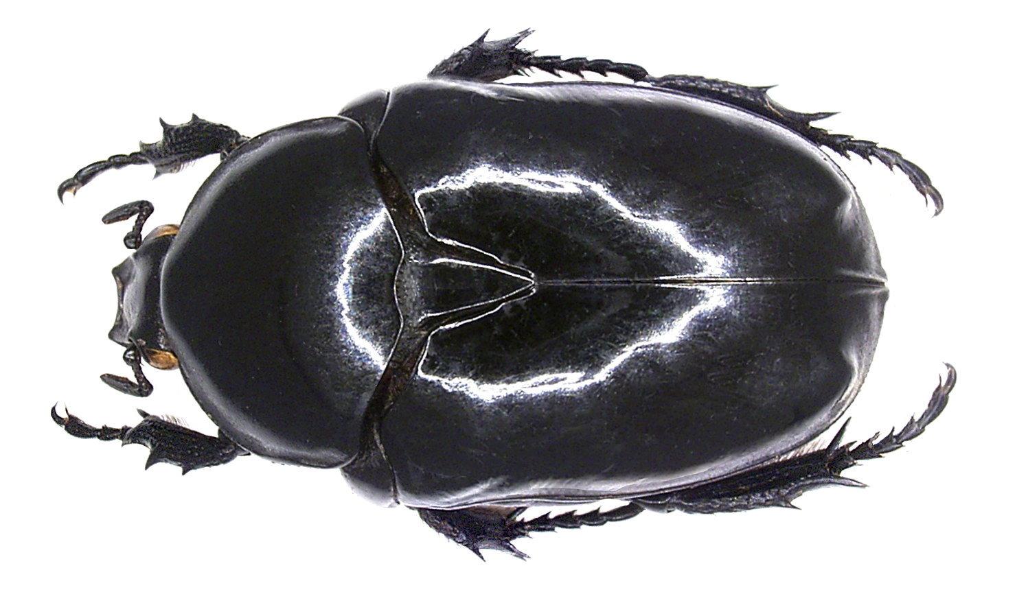 Image of <i>Diplognatha silicea</i>