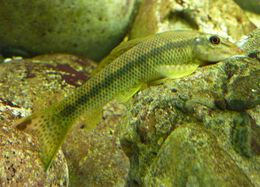 Image of Spotted algae eater