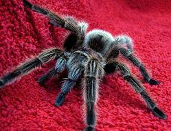 Image of Chilean Rose Tarantula
