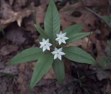Image of starflower