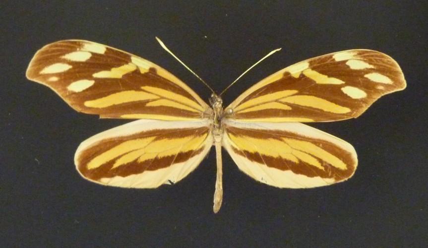 Image of <i>Dismorphia amphione</i> (Cramer (1779))