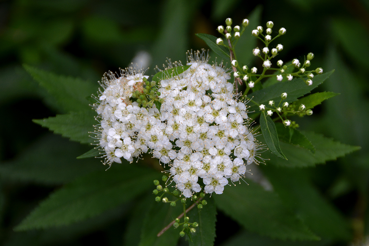 Image of Japanese meadowsweet
