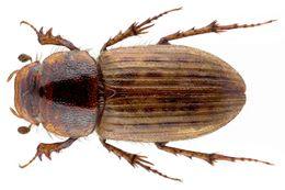 Image of <i>Euheptaulacus sus</i> (Herbst 1783)