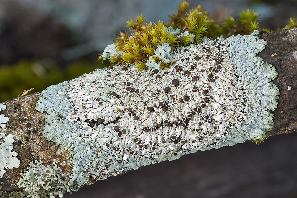Image of rosette lichen