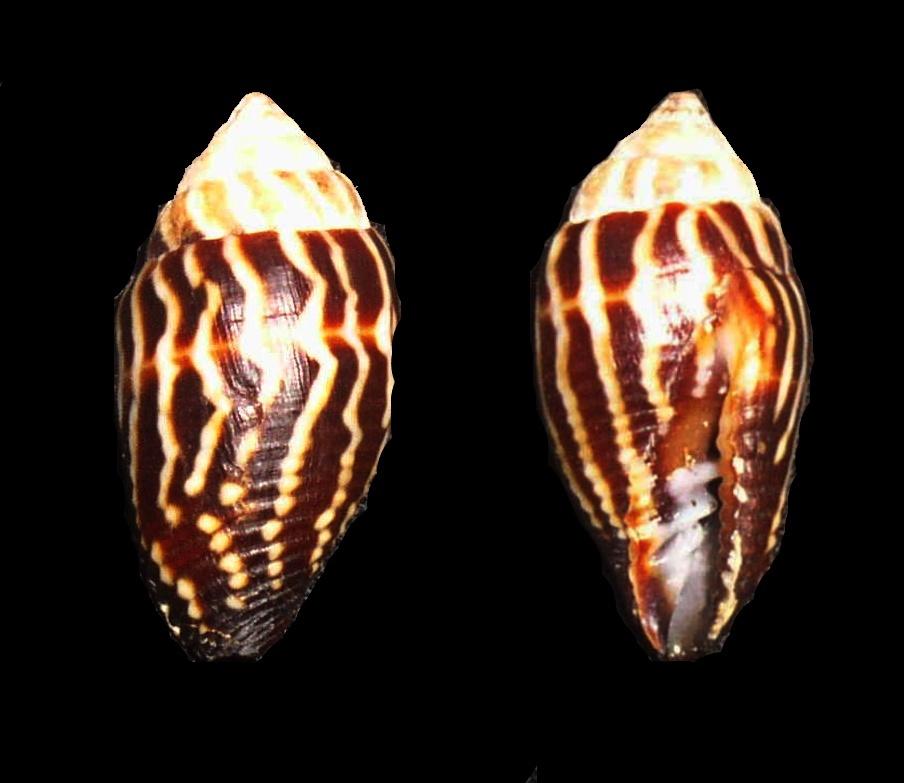 Image of <i>Mitra paupercula</i> (Linnaeus 1758)