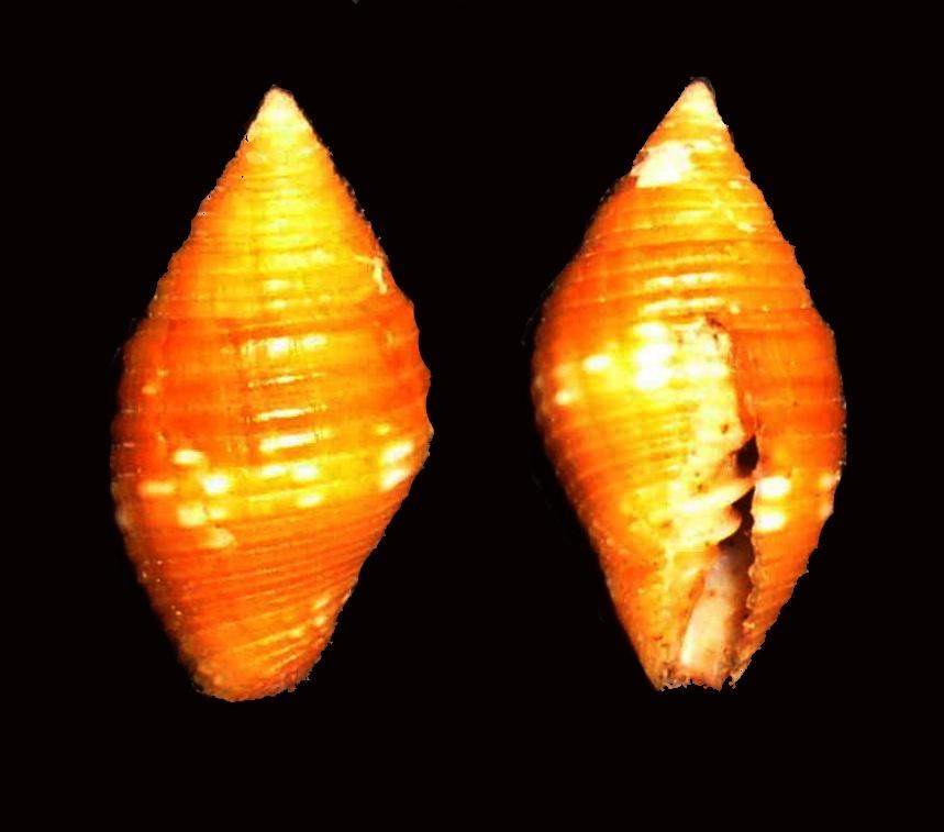 Image of <i>Mitra cucumerina</i> Lamarck 1811