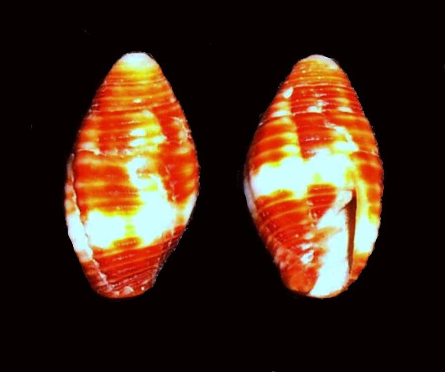 Image of <i>Mitra chrysalis</i> Reeve 1844