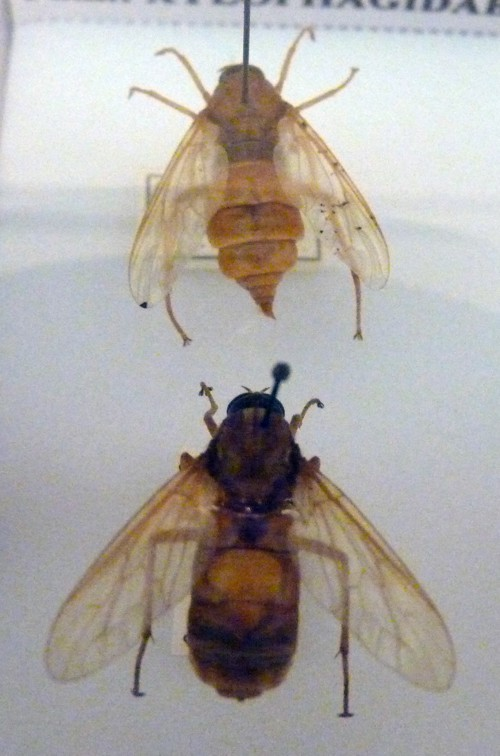 Image of <i>Coenomyia ferruginea</i> (Scopoli 1763)