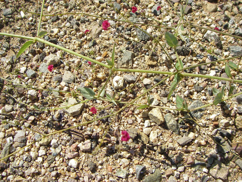 Image of scarlet spiderling