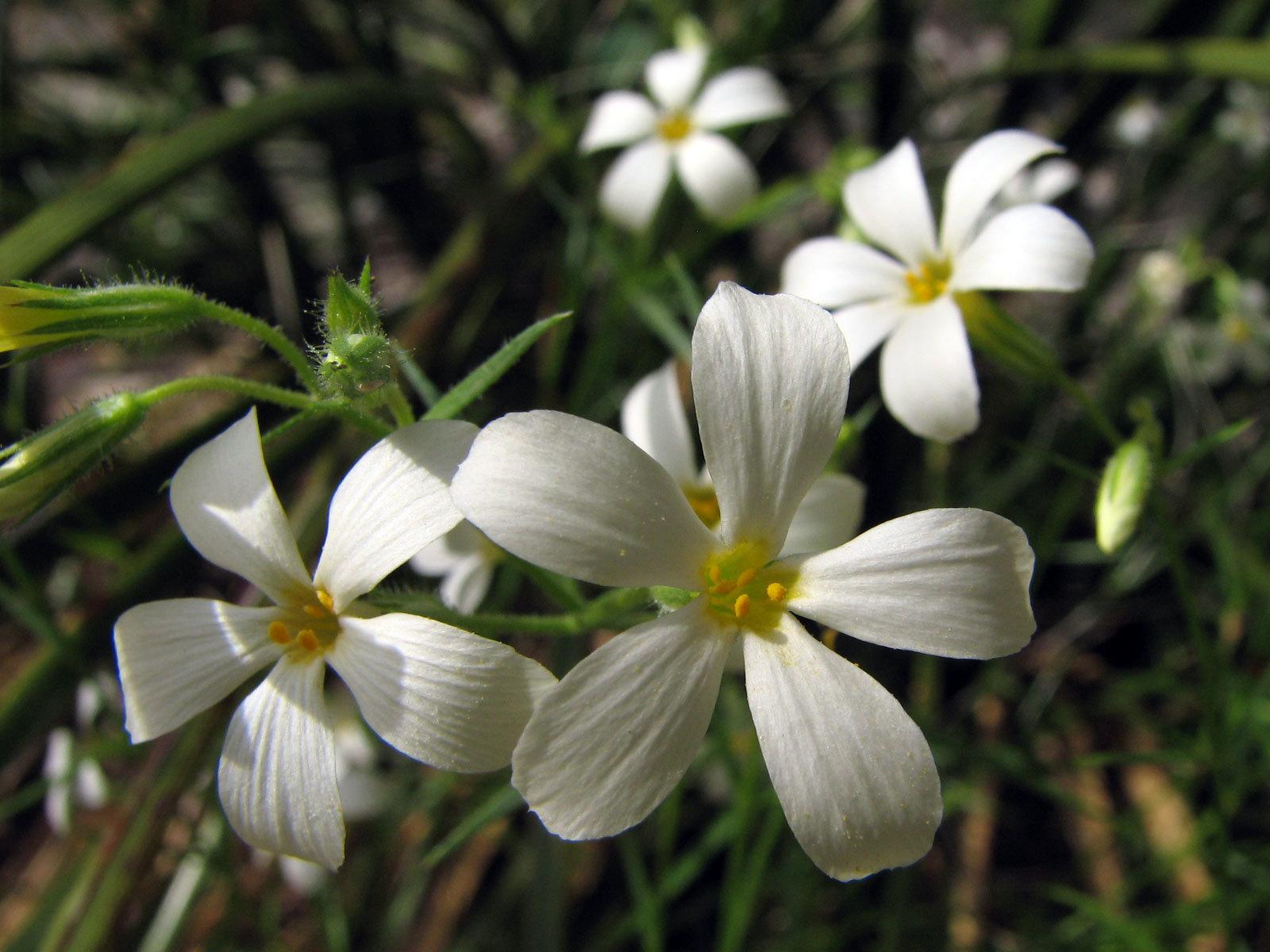 Image of Santa Catalina Mountain phlox